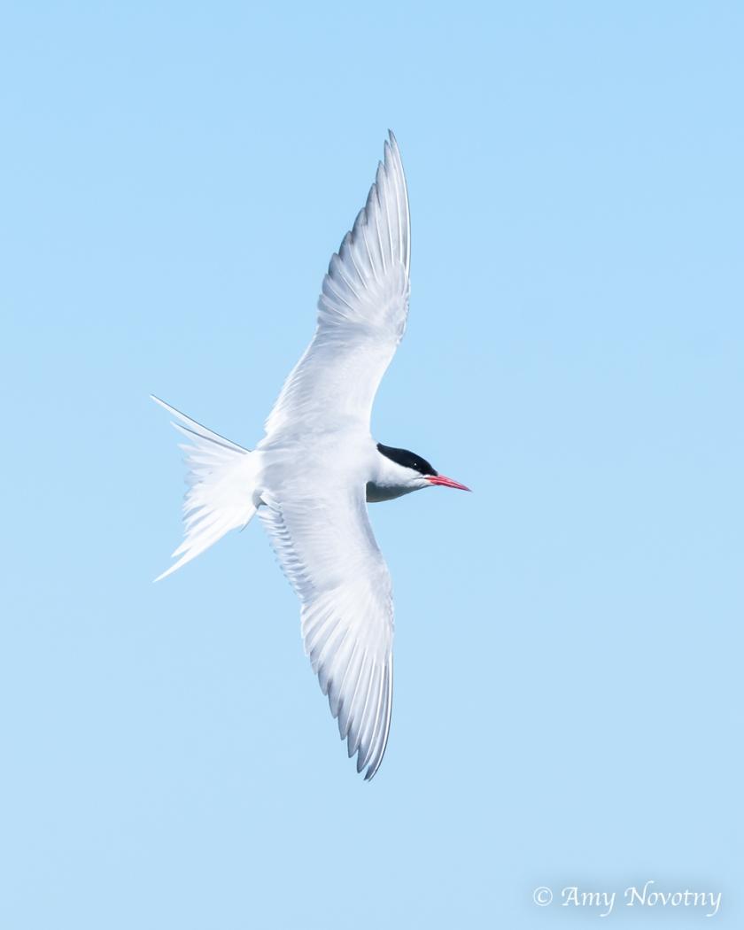 Tern flying July 3 1575