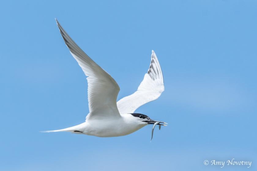 Tern flying July 5 1628