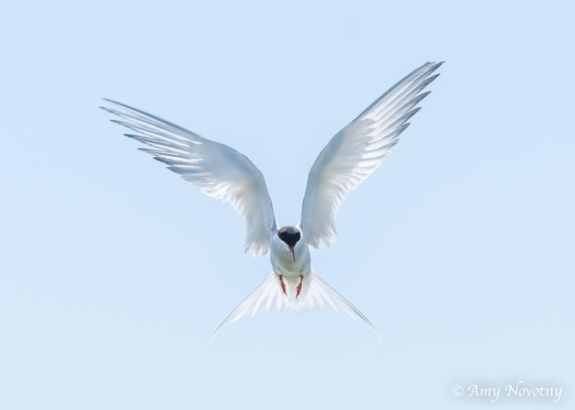 Tern flying July 6 5236