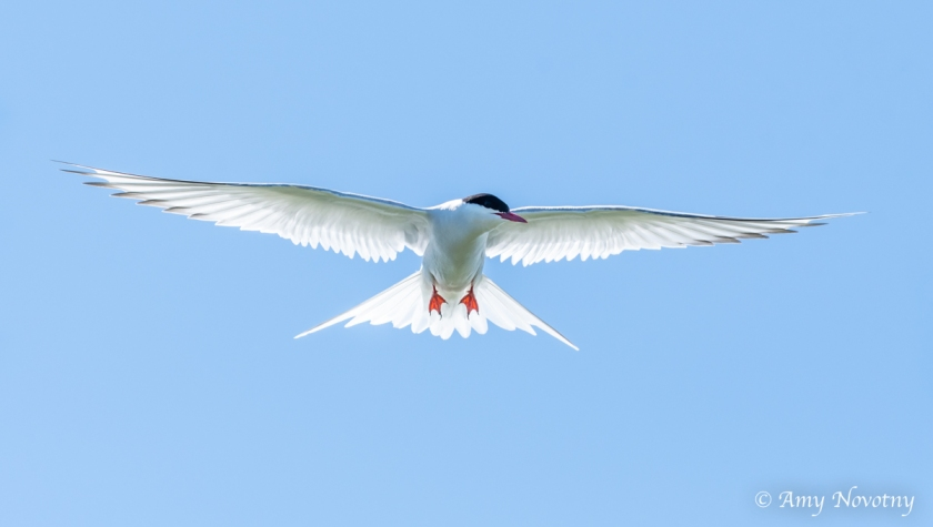 Tern flying July 6 5338