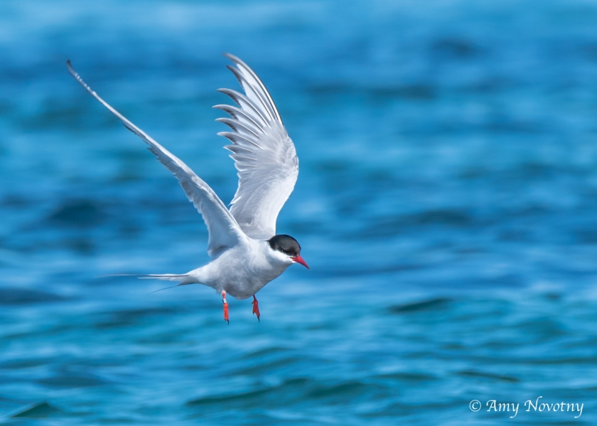 Tern flying over water July 7 1418