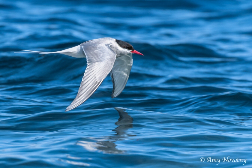 Tern flying over water July 7 1453