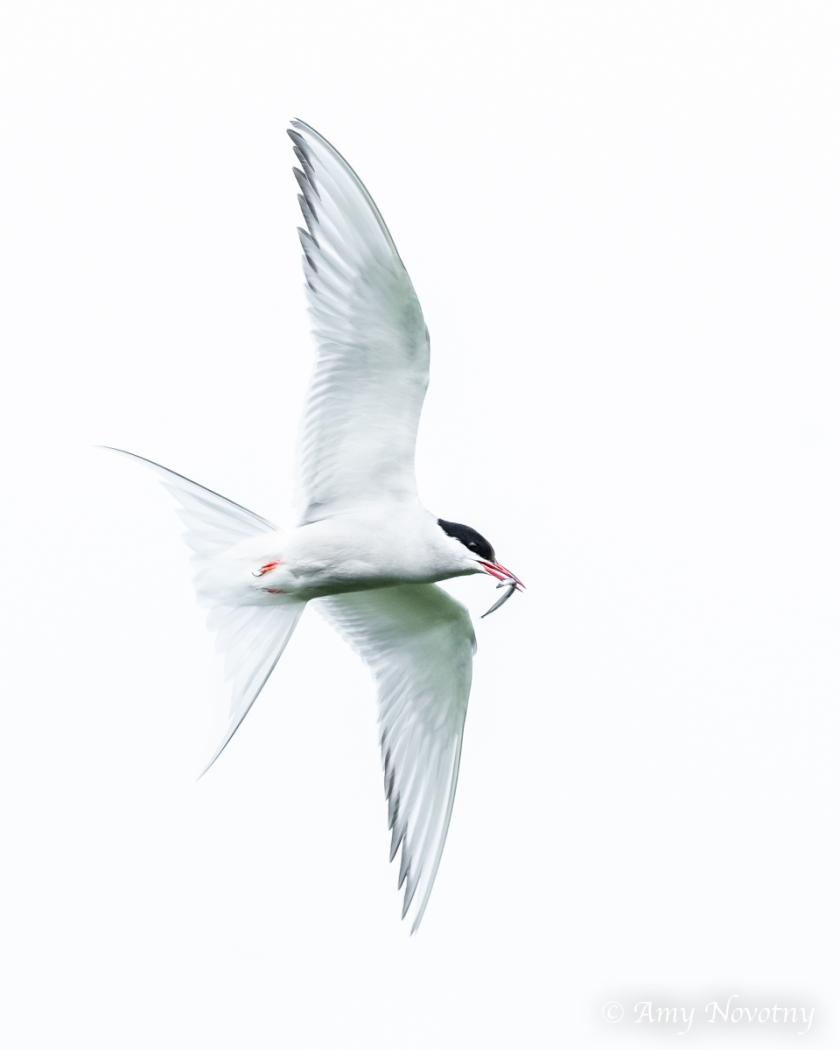 Tern flying with fish July 5 2968