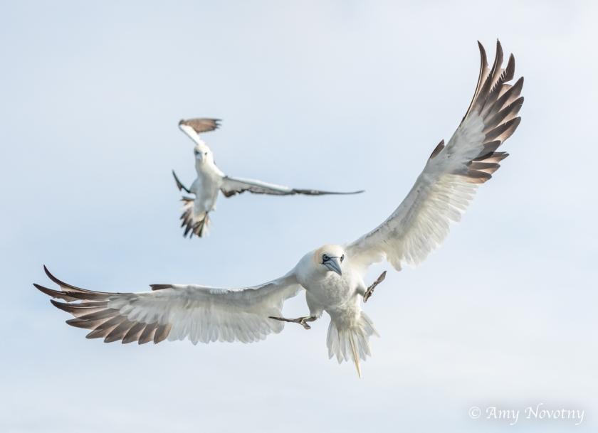 Gannets Dunbar July 10 6129