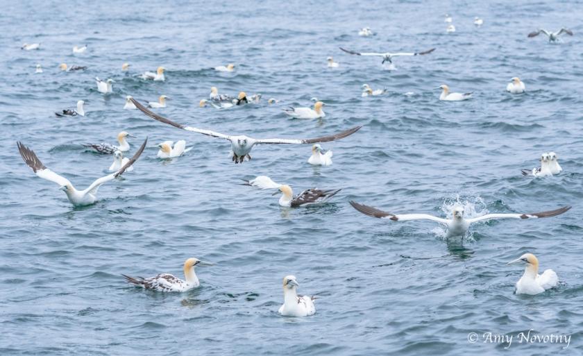 Gannets Dunbar July 9 0034
