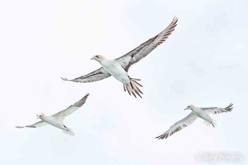 Gannets Dunbar July 9 0085