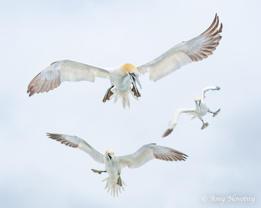 Gannets Dunbar July 9 0555