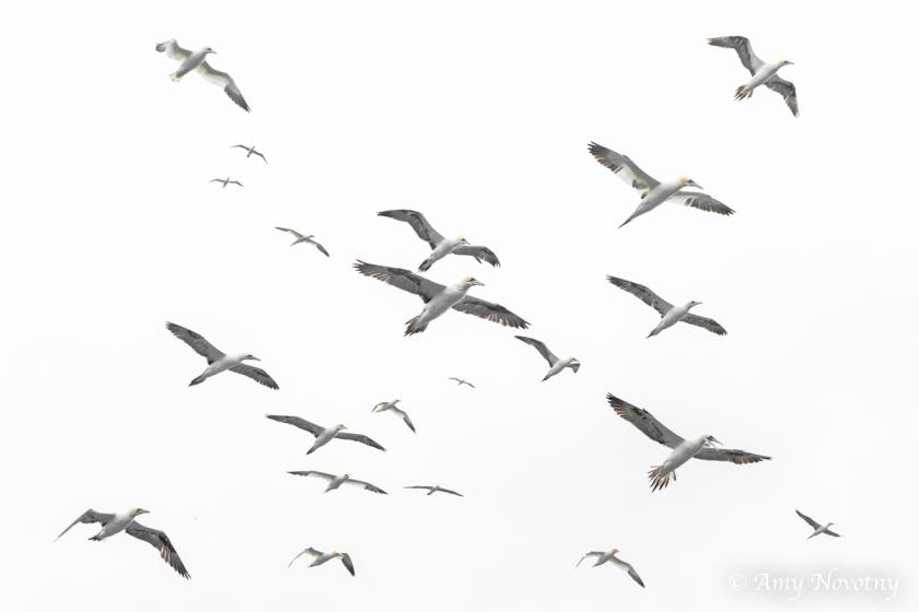 Gannets Dunbar July 9 1132