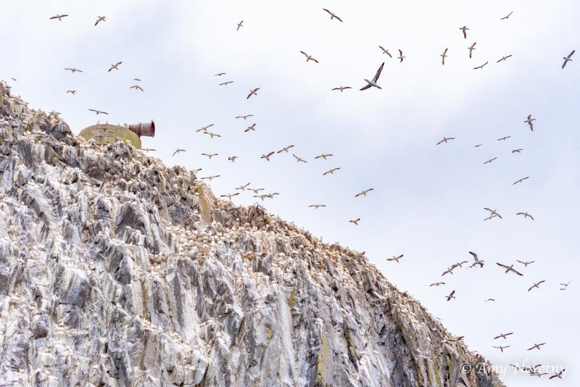 Gannets Dunbar July 9 8912