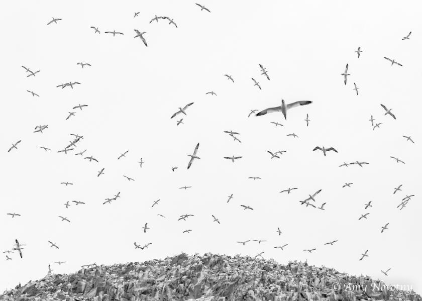 Gannets Dunbar July 9 8919
