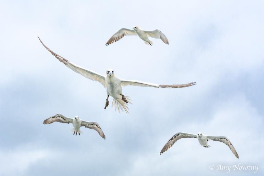 Gannets Dunbar July 9 9990