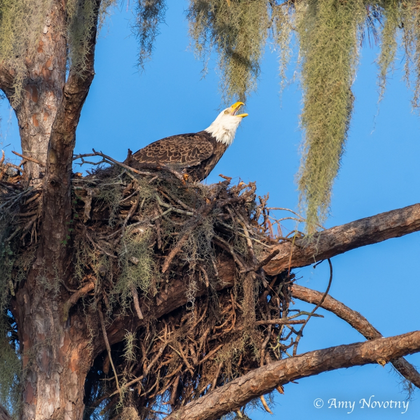 Bald Eagle 7446 September 29, 2018