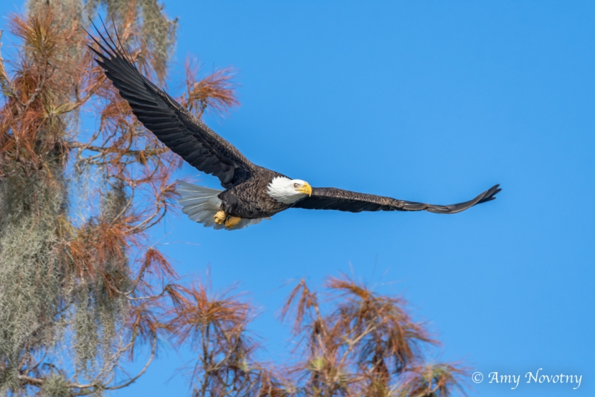 Bald Eagle 7568 September 29, 2018