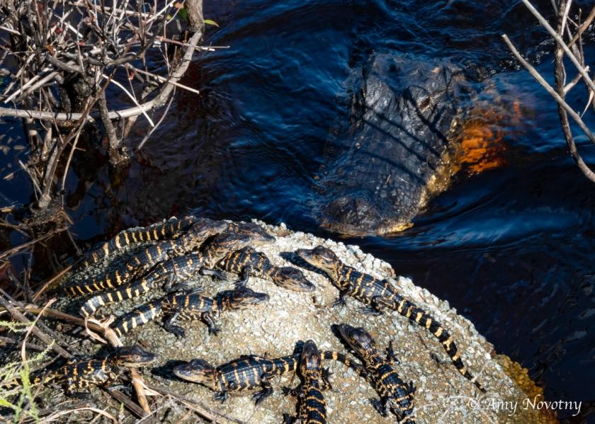 Myakka alligator 7289 September 28, 2018