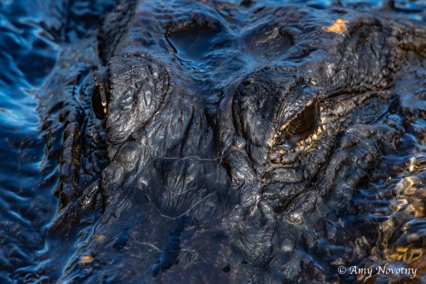 Myakka alligator 7304 September 28, 2018