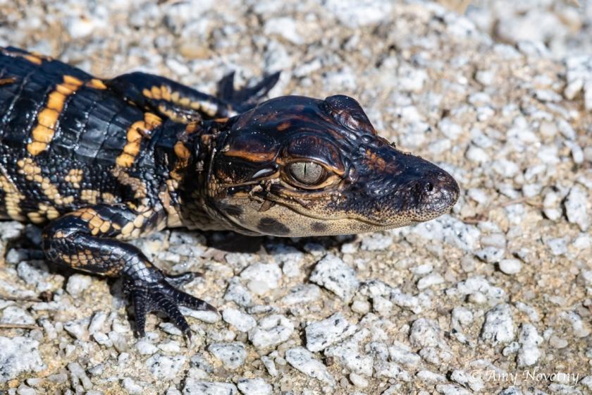 Myakka alligator 7383 September 28, 2018
