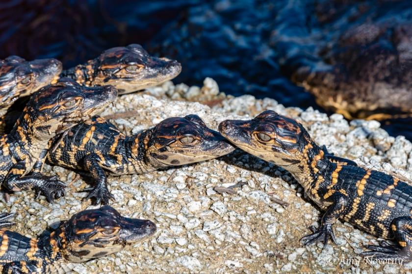 Myakka alligator 9361 September 28, 2018