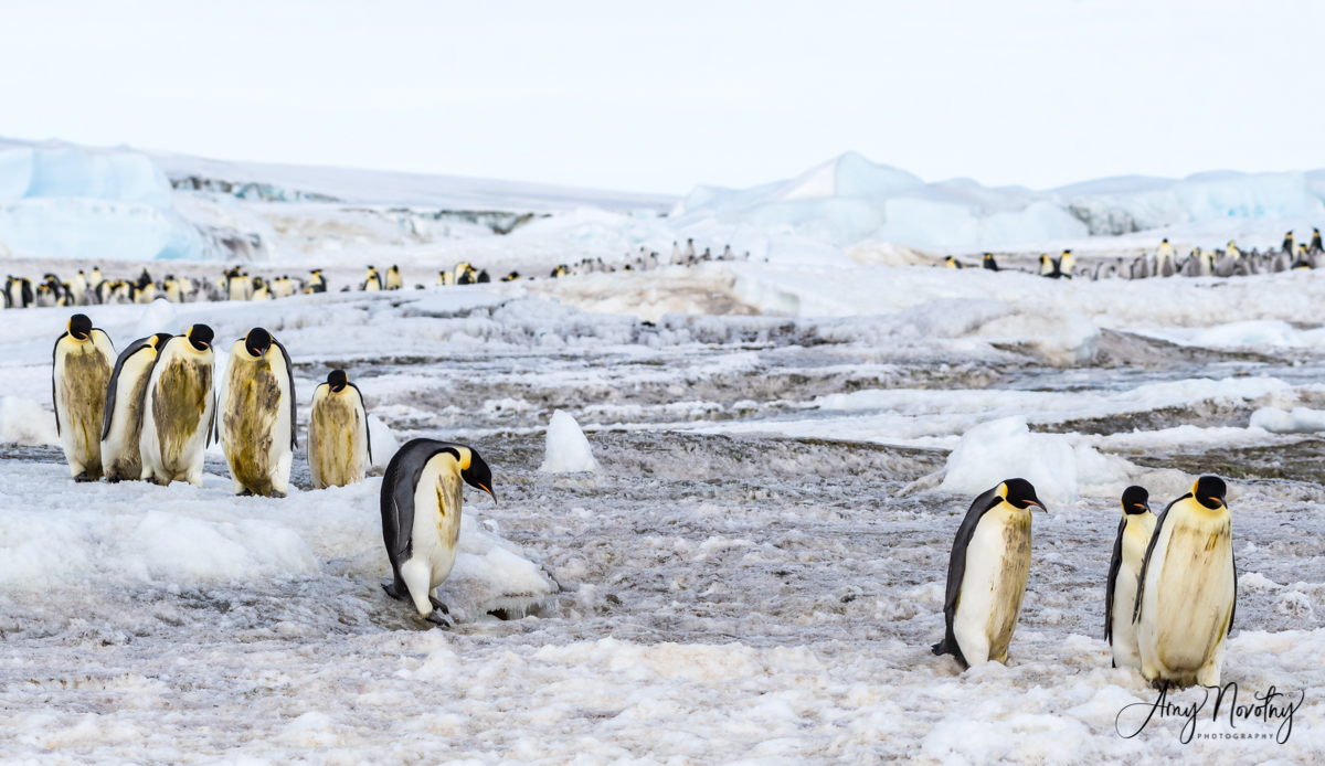 Emperor Penguins -The Beauty in the Reality